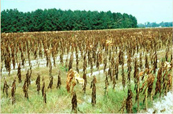 Figure 7. Total loss of a flue-cured tobacco crop to black shank.