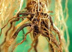 Figure 13. Extensive root necrosis caused by Phytophthora nicotianae.