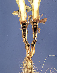 Figure 17. Disking of the pith caused by infection by Rhizoctonia solani. Notice the collapse of the stem that is not typical of