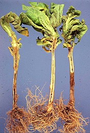 Figure 18. Symptoms of lightning injury on tobacco seedlings. Notice that the disking is not necrotic and it extends along the e