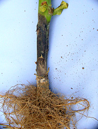 Figure 19. Stem infection by Phytophthora nicotianae. Note that roots remain healthy.