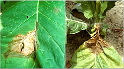 Figure 21. Leaf lesions of the black shank disease. Note the colonization of the midrib (left) and growth from the leaf into the