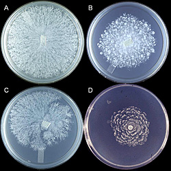 Figure 23. Varied colony morphologies of Phytophthora nicotianae grown on 5% carrot agar.