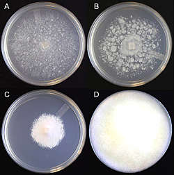 Figure 24. Colony morphology of an individual Phytophthora nicotianae isolate on different media. A. 5% V-8 juice agar. B. 5% ca
