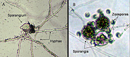 Figure 26. A. Direct germination of a Phytophthora nicotianae sporangium by means of hyphae. B. Indirect germination of Phytopht