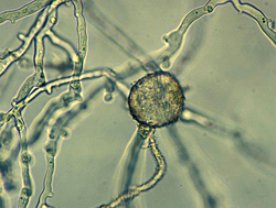 Figure 30. Phytophthora nicotianae chlamydospore germinating by the production of hyphae. Note the characteristic hyphae as show