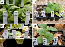 Figure 40. Races of Phytophthora nicotianae present in tobacco-growing regions of the US, can be identified based on a reaction
