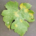 Figure 2. Lesions of downy mildew on grapevine leaves. The diffuse edge of the lesion gives it its characteristic oilspot appearance. (Courtesy G. Ash)