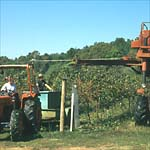 Figure 13. Harvesting of grapes using a mechanical harvester. (Courtesy G. Ash)