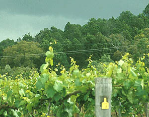 A typical method of growing grapevines on a trellis system.