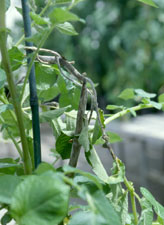 Figure 5. Sporulation by Phytophthora infestans on infected potato stems in a greenhouse setting. (Courtesy D.A. Johnson)