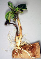 Figure 21. Transmission of Phytophthora infestans from an infected seed tuber to the sprout. (Courtesy D. Inglis, copyright-free)