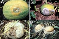 Figure 9. Fruit rot of processing pumpkin caused by Phytophthora capsici: (A) a lesion on a fruit; (B) fruit rot developed on the side contacting soil; (C) fruit rot as a result of falling an infected leaf on fruit; (D) severely infected and collapsed fruit. (Courtesy M. Babadoost)
