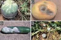 Figure 11. Fruit rot caused by Phytophthora capsici on cucurbit crops in commercial fields in Illinois: (A) watermelon; (B) muskmelon; (C) cucumber; (D) acorn squash.(Courtesy M. Babadoost)