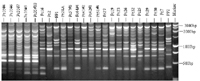 Figure 16. Products of inter-simple sequence repeats (ISSR) test of Phytophthora capsici using primer (GTC)7. Marker is a 1-kb ladder (Promega, Inc. Madison, WI)(Courtesy M. Babadoost) .