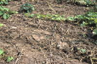 Figure 19. A pumpkin field in Illinois with severe foliar blight and fruit rot caused by Phytophthora capsici (a field with 100% yield losses). (Courtesy M. Babadoost)