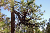 Figure 4. Witches' broom in a lower branch of a ponderosa pine resulting from old infection by southwestern dwarf mistletoe. [co