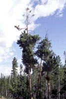 Figure 5. Crown symptoms of infection by lodgepole pine dwarf mistletoe (Arceuthobium americanum) include multiple, systemic bro