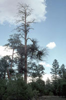 Figure 6. Ponderosa pine snag killed by severe infections of southwestern dwarf mistletoe as evidenced from many witches' brooms