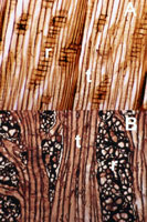 Figure 13. Wood of lodgepole pine: (A) slightly oblique radial section of healthy wood with (r) rays and (t) tracheids and (B) t
