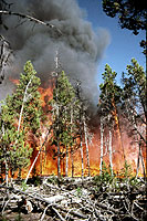 Figure 17. Large fuel accumulation and crown fire of stand of lodgepole pine severely infested by dwarf mistletoe. [courtesy D.