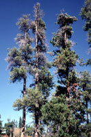 Figure 18. Old lodgepole pine with severe infestation of dwarf mistletoe as evident from crown symptoms. [courtesy F. Hawksworth