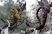 Figure 22. Chemical control of lodgepole dwarf mistletoe with topical treatment of ethephon; before application (A) and several