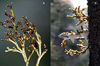 Figure 23. Biotic associates of dwarf mistletoe include pathogenic fungi and herbivorous insects; (A) Colletotrichum killing aer