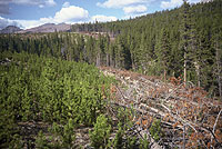 Figure 24. A cut border isolates a regenerated lodgepole pine stand from an adjacent, mistletoe-infested stand. The young regene