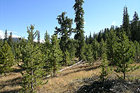 Figure 26. Silviculture can reduce mistletoe infestation. In this stand, mature lodgepole pine (mostly infected) was removed, lo