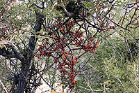 Figure 36. Phoradendron is a genus of native, North American mistletoes that occur on numerous species of desert shrubs, juniper