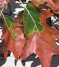 Figure 1. Bacterial leaf scorch of oak (Quercus rubra). Look for a pronounced marginal discoloration with a dull red or yellow h