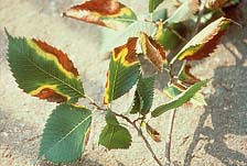 "Figure 3. Leaf scorch of elm caused by Xylella fastidiosa. Note that symptoms are irregular in shape, and a bright yellow ""band"""