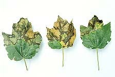 Figure 4a. Symptoms of bacterial leaf scorch on red maple, Acer rubrum (Courtesy J. L. Sherald, APS Woody Ornamentals Digital Im