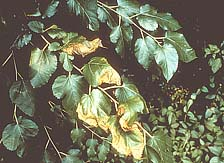 Figure 4b. Symptoms of bacterial leaf scorch on white mulberry (Morus alba) (Courtesy J.L. Sherald, APS Woody Ornamentals Digita