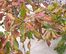 Figure 4c. Symptoms of bacterial leaf scorch on shingle oak (Quercus imbricaria) (Courtesy A.B. Gould)
