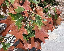 Figure 8. Due to the determinate growth habit of oak, most leaves on a branch affected by Xylella fastidiosa will exhibit scorch