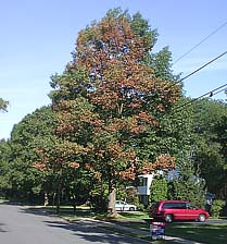 Figure 9. As bacterial leaf scorch of oak progresses, more branches develop symptoms. About 60% of the crown of this tree is aff