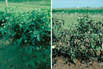 Figura 7. Green foliage on healthy tomato plants (left) compared with scorched-appearing foliage on severely diseased plants (ri