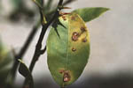 Figure 15. Foliar lesions on Mexican (Key) lime. (Courtesy T.R. Gottwald, copyright-free)