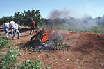 Figura 31. Clearing and burning infected or exposed citrus grove trees to eradicate canker. (Courtesy J.H. Graham)