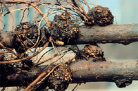 Figure 1. Crown gall of Mark apple rootstock (Courtesy A.L. Jones).