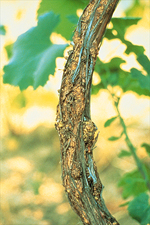 Figure 2. Small, pimple-like galls of crown gall (Agrobacterium vitis) extending up the trunk of a grapevine. (Courtesy T.G. Burr)