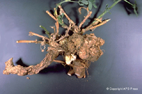 Figure 4. Crown gall on a 4-year-old alfalfa plant. (Courtesy D.C. Erwin)