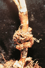 Figure 7- Gall caused by Agrobacterium tumefaciens on a young highbush blueberry plant. (Courtesy R.S. Byther)