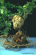 Crown gall on Euonymus caused by Agrobacterium tumefaciens.(Courtesy R.L. Forster)