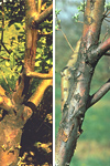 Figure 6. Active (left) and dormant (right) fire blight cankers on mature apple branches. (Courtesy A. Jones)