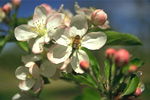 Figure 10. Apples blossoms with honey bee. (Courtesy K. Johnson)