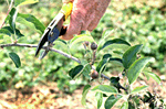 Figure 13. Pruning of fire blight 20-25 cm below active infection. (Courtesy T. Smith)