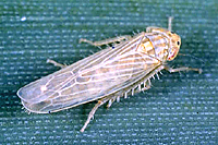 Figure 11. Dalbulus maidis, leafhopper vector of corn stunt spiroplasma. (Courtesy A. Wayadande)